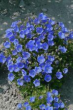 """CAMPANULA ~Blue Clips~ """"Campanula Carpatica"""" ~Ground Cover~ 25+ Perennial Seeds"""