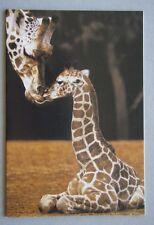 Shahni Rare Rothschild Giraffe with Mother Misha Perth Zoo Greeting Card