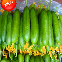 50 PCS Seeds Dutch Cucumber Bonsai Vegetable Garden Plants Free Shipping 2019 N