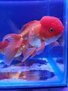 """Assorted Jumbo Oranda Goldfish (5.5"""") Live Fish 2Day Fedex shipping"""