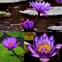 10pcs Blau Lotus Samen Seerosen Blumensamen Wasserpflanzen Duftende Blühenden