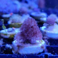 Blushing Finger Leather Coral Frag