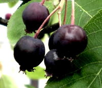 Lamarkii Service berry apple flavor fruit tree Unusual shrub Hardy LIVE PLANT