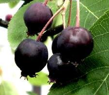 New listing Lamarkii Service berry apple flavor fruit tree Unusual shrub Hardy Live Plant