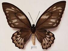 Ornithoptera Priamus Urvillianus (Female)  - Solomon Islands