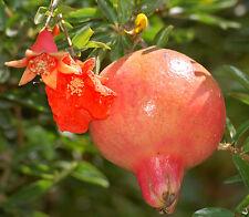 Nana Dwarf Pomegranate Prunica granatum✽15 Seeds✽Fruits Bonsai Medicinal