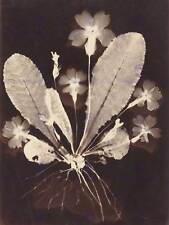VINTAGE PHOTOGRAPHY 19TH CENTURY BOTANICAL PHOTOGRAM (2) ARTWORK PRINT BB4993B