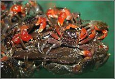Live aquatic red crab tropical Sesarma bidens  freshwater
