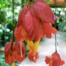 Extremely rare - Amazing Drymonia pendula! - Unusual Gesneriad