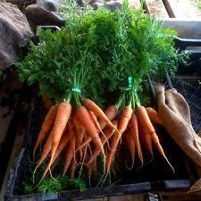 Certified Organic Bulk Danvers 126 Carrot Seeds (~72,000): Non-GMO Heirloom