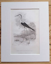 Long-Legged PLOVER, 1824 ORIGINAL PRINT Antique ENGRAVING, Matted 8X10 Birds