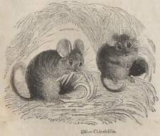 ANTIQUE C184O PRINT CHINCHILLA FUR PET RODENT CHILE ANDES CAGE CHINCHA GREY