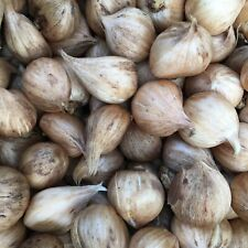 10 x Dwarf Iris or Iris reticulata Bulbs 'Mixed Varieties' (Free Postage UK)