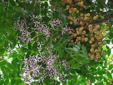 beim Perlenbaum sind die Blüten und die Früchte sehr schön !