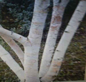 White Birch Tree Seeds
