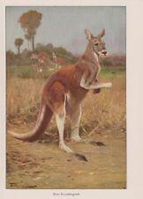 Rotes Riesenkänguru (Macropus rufus) Känguruh  Wilhelm Kuhnert Farbdruck 1953