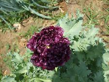 Organic Black Peony Poppy Flower Seeds Papaver Somniferum 500 + Seeds
