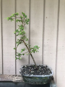 Chinese Elm Aged Tree Tiny Leaf Pre-Bonsai Never Wired+Coast Redwood Tree+Moss