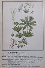 ca. 1940 WALDMEISTER Asperula Odorata alter Druck print Litho Pflanzen Botanik