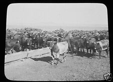 Glass Magic lantern slide PURE BREAD FROM BRITISH STOCK C1910 ARGENTINA COWS