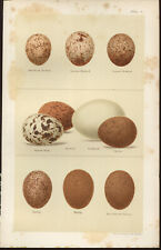 SEEBOHM Antique BIRDS EGGS print 1896 Chromolithograph  Plate 4 KESTREL GOSHAWK
