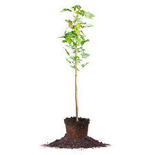 October Glory Maple Tree, Live Plant, Size: 3-4 ft.