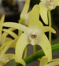 Dendrobium speciosum var. curvicaule- blooming size