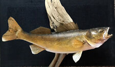 Monster 25� Walleye Real Skin Mount On Great Lakes Driftwood- Taxidermy