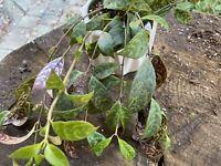 Black Pagoda Lipstick Plant Aeschynanthus Longicaulis ACTUAL PLANT PICTURED