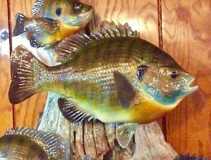Bluegill, Shell-cracker Taxidermy Replica Fish Mount, Cabin Decor
