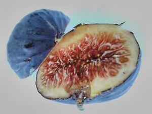 MARKOPOULOU MAVRA  -Greek Variety (2 fresh cuttings)