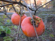Asian Persimmon Tree 5 Seeds Orange Huge Fruit Sweet