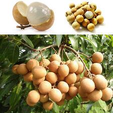 10pcs*Fruit bonsai RARE Dwarf Longan Sri Chompoo/Dragon Eye Exotic Fruit Seeds