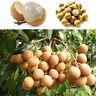 10 * Frucht-Bonsai SELTENE Zwerg Longan Sri Chompoo / Drachenauge exotische C3S8