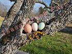 12+ Barnyard mix Hatching eggs