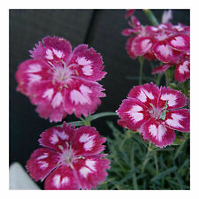 3 x perenne in vasi di 9cm Crocosmia × crocosmiiflora /'MIELE/'S ANGELS