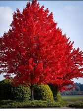 🌿FRESH!! Red Maple Cuttings! 🌿