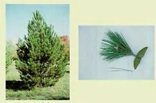New listing Austrian Pine, pinus nigra. 100 seeds. trees, seeds