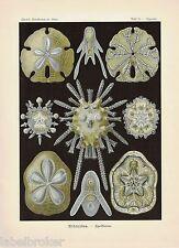 ANTIQUE PRINT NATURE ORIGINAL KUNSTFORMEN DER NATUR ERNST HAECKEL 1899 PLATE 30