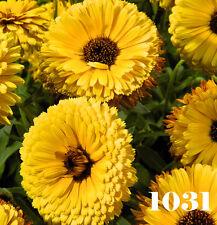 YELLOW POT MARIGOLD - Calendula officinalis nana 250 seeds  ANNUAL FLOWER
