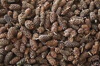 Alder Cones 75 G ~500pcs Low Ph Tannins/ Anti-bacterial /Shrimps /Fish / TEA