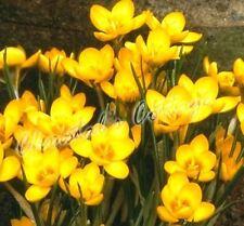 20 CROCUS DOROTHY BULB CORM AUTUMN GROWING GARDENING SPRING YELLOW FLOWERING