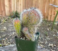 LARGE A+++ stenocereus hollianus cristata Crested Cactus Crest