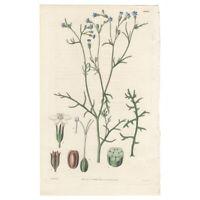 Curtis Botanical Magazine antique 1829 hand-colored engraving Pl 2883 Gilia