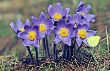 2 Grams Over 1,300 ANEMONE PATENS Pulsatilla Purple Native Flower Seeds Bulk G