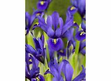 "25 bulbs IRIS HARMONY RETICULATA + 4"" FREE REUSABLE PLANT LABEL"