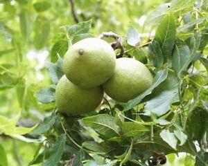 10+ Black Walnut (Juglans nigra) Seeds! Local Seed Nut Tree Shade Tree Native