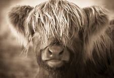 LARGE A3 SIZE  QUALITY CANVAS ART PRINT * Cute Scottish Highland Cow Calf