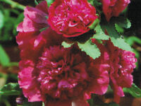 50 Hollyhock Seeds Chater Scarlet Holly Hock Seeds ( Perennial )
