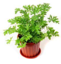 100pcs Citronella Plant seeds Mozzie buster plant mosquito repellent plant HI